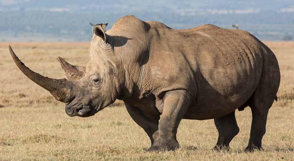 Nosorożec biały współczesny.jpeg