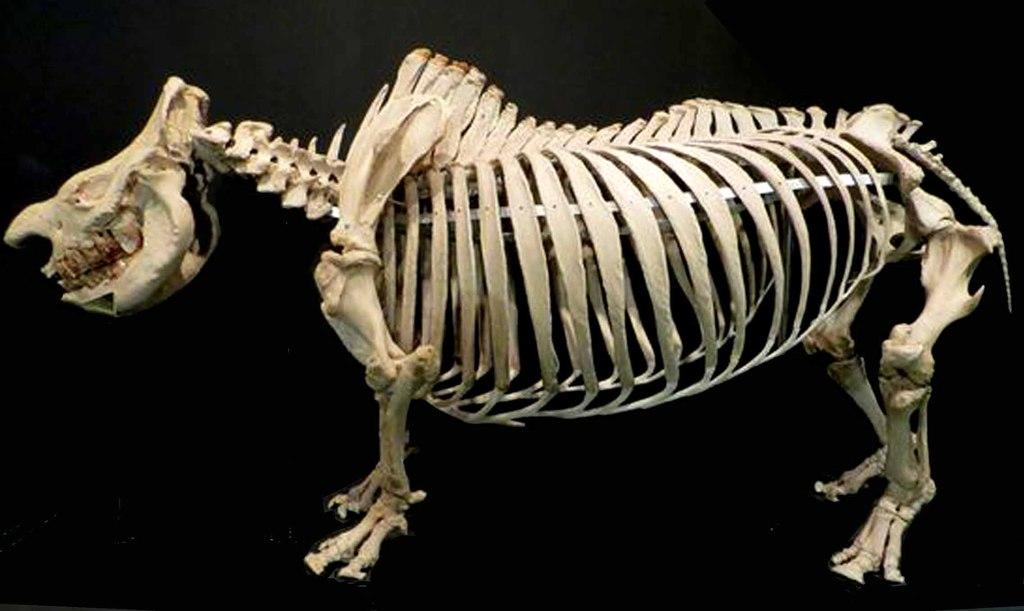Szkielet białego nosorożca.jpeg