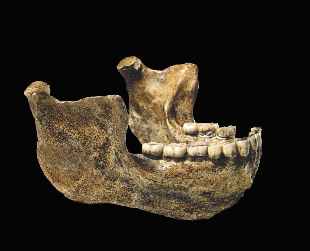 Homo erectus z Mauer.jpeg