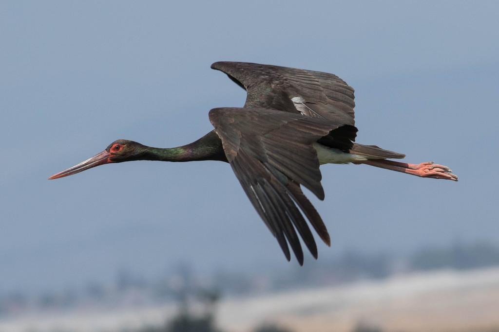 Black_stork_(Ciconia_nigra).jpeg